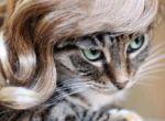 Peruki, tipsy dla Waszego kota
