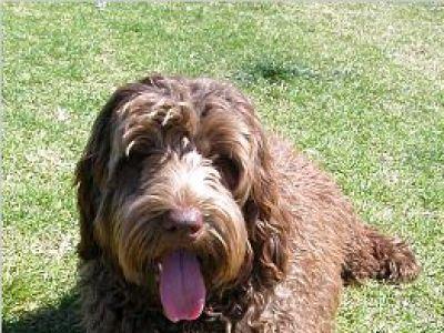 Labradoodle – najlepszy pies dla alergików