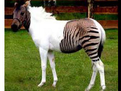 Zebra plus koń czyli zebrokoń